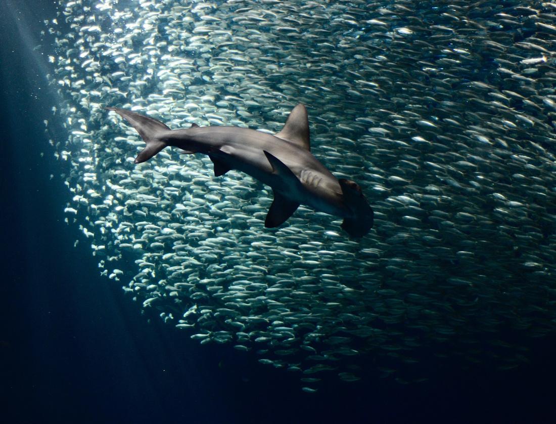 Hammerhead shark with sardines